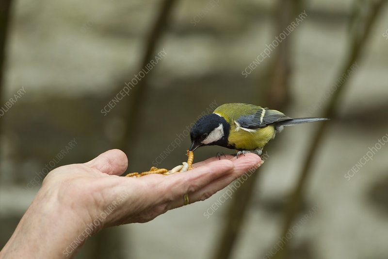 Great tit taking mealworm from person's hand