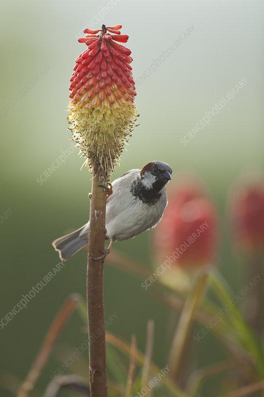 Male House sparrow perched on a Red hot poker stalk