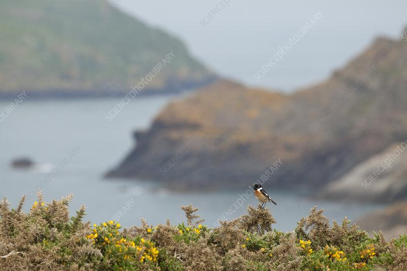 Male Stonechat, Pembrokeshire, Wales, UK, May