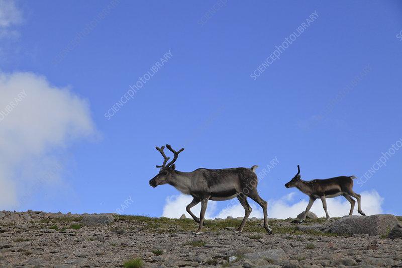Reindeer on upland plateau