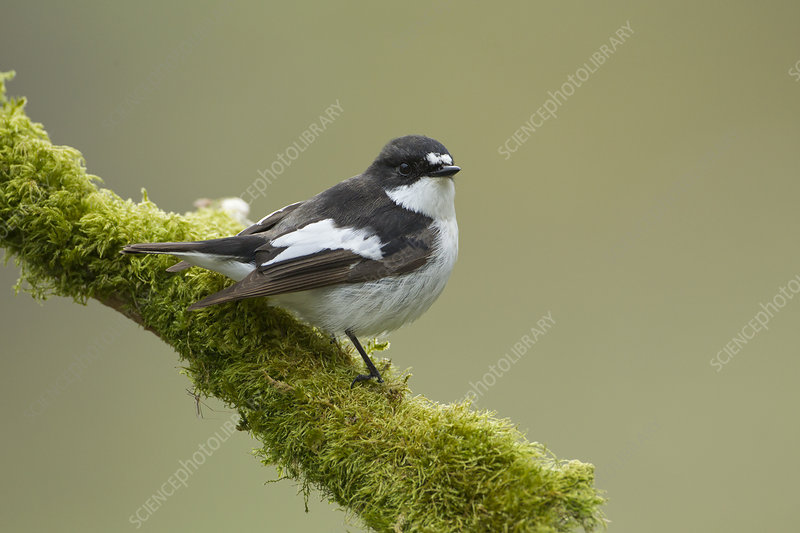Pied flycatcher male perched, Wales, UK, February