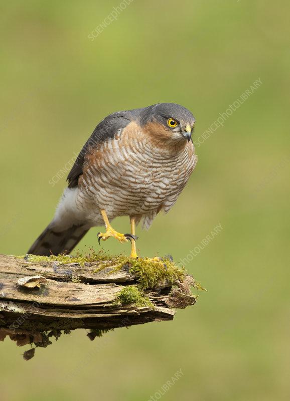 Sparrowhawk adult male, Scotland, UK, February