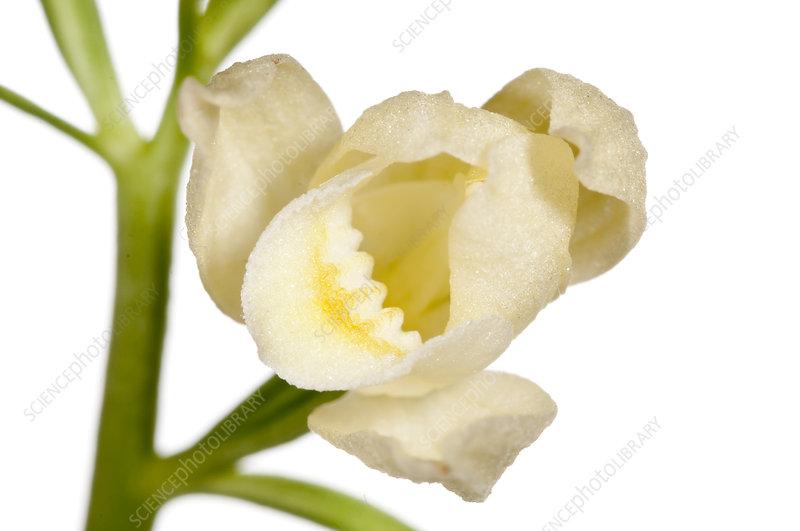 White Helleborine (Cephalanthera damasonium)