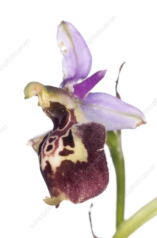 Late Spider orchid (Ophrys fuciflora)