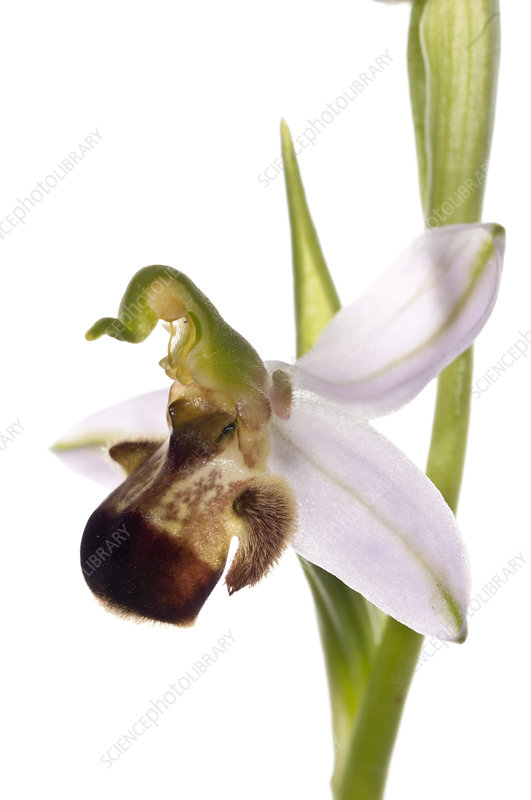 Bee orchid variety (Ophrys apifera var bicolor)