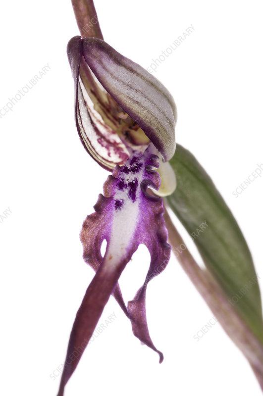 Adriatic Lizard orchid (Himantoglossum adriaticum)
