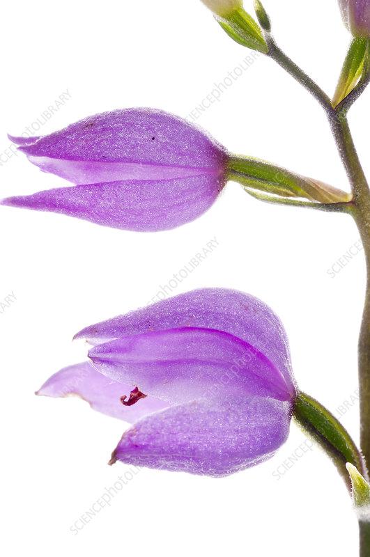 Red Helleborine (Cephalanthera rubra)
