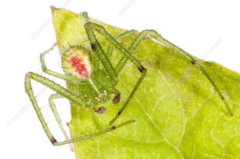 Hairy green crab spider on green leaf, Italy