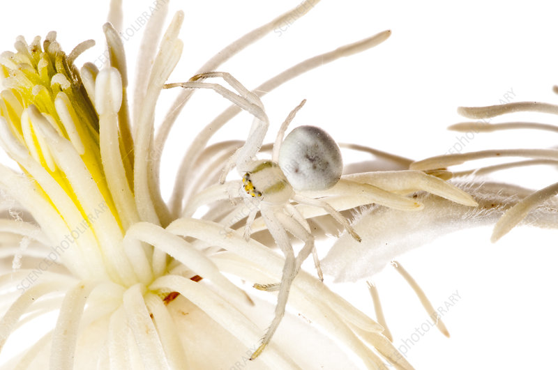 Goldenrod crab spider camouflaged on white flower, Italy