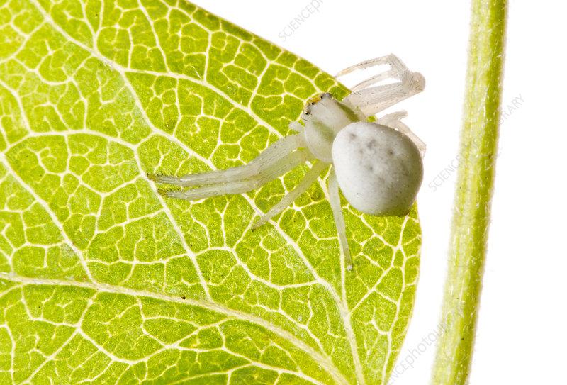 Goldenrod crab spider on green leaf, Italy