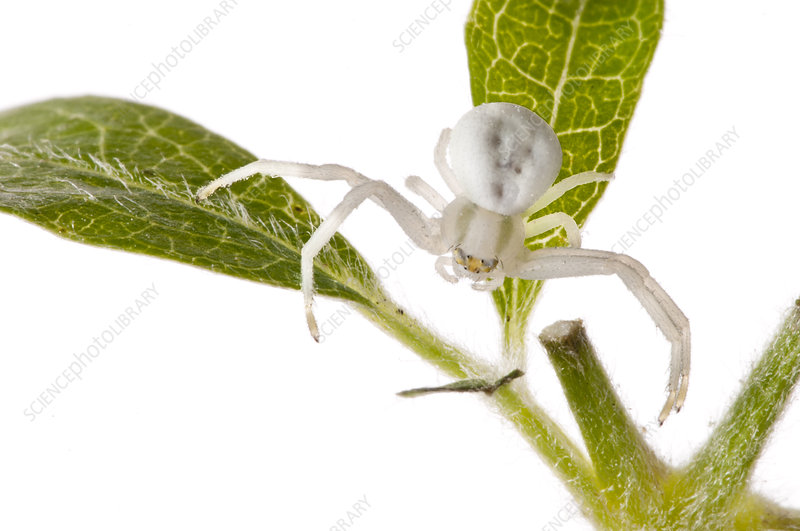 Goldenrod crab spider on green plant, Italy