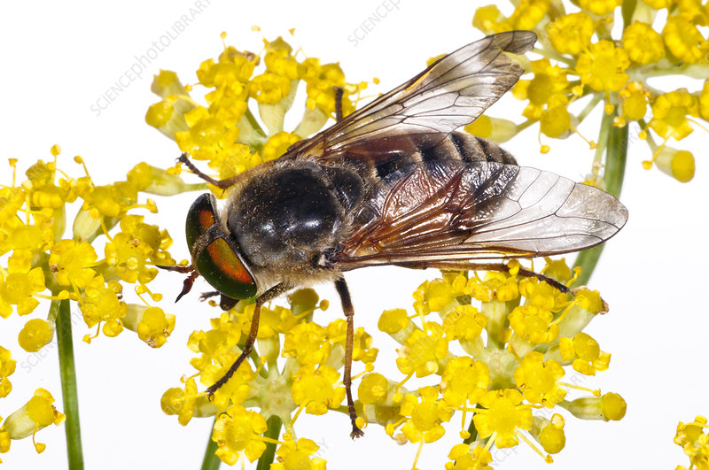 Horsefly male feeding on Fennel flower nectar, Italy