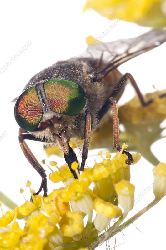 Horsefly male feeding on Fennel flower nectar, Italy