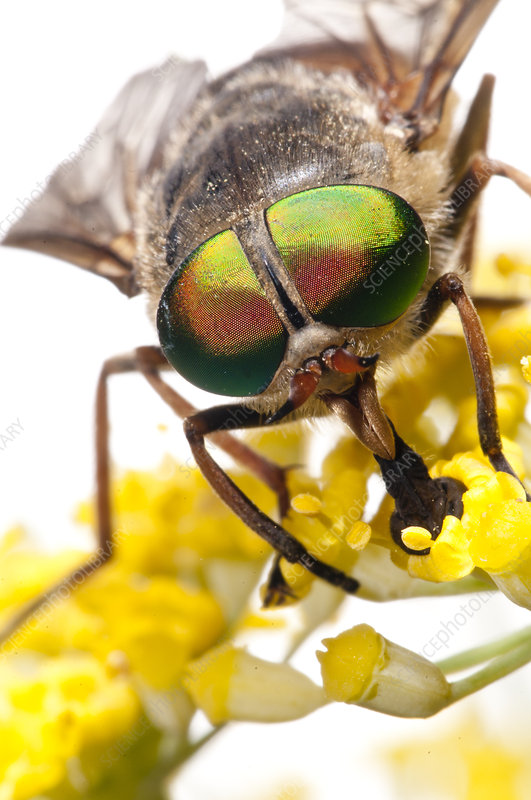 Horsefly close up of male feeding on fennel flower nectar