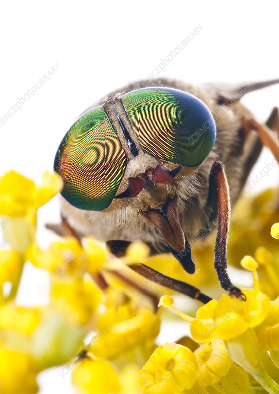 Horsefly male feeding on flower nectar Lazio, Italy