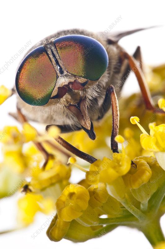 Horsefly male feeding on flower nectar Lazio, Italy