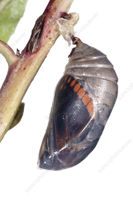 Two-tailed pasha butterfly ready to emerge from pupal case