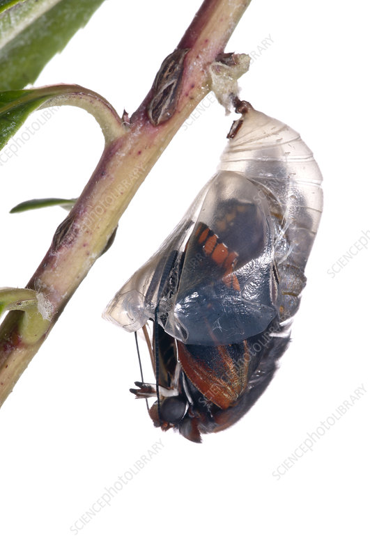 Two-tailed pasha butterfly emerging from chrysalis