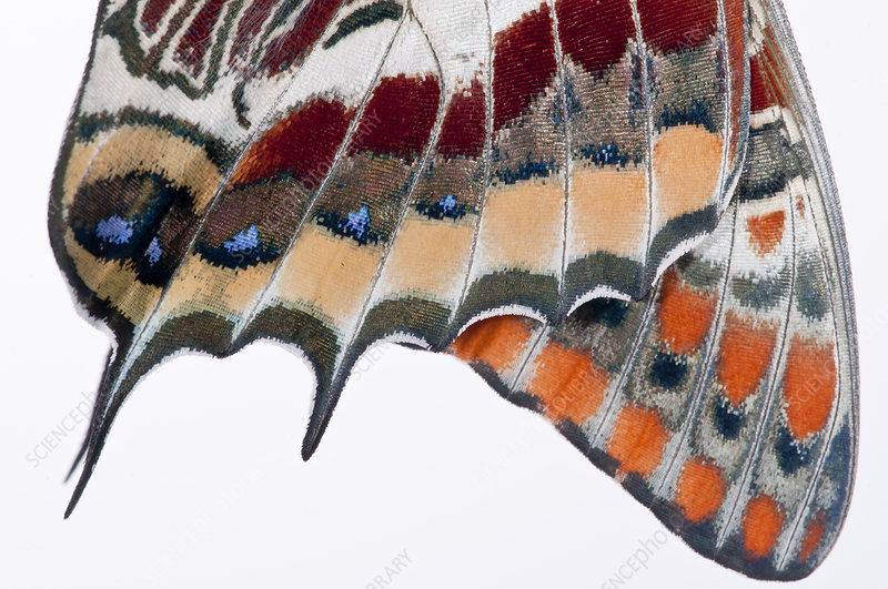 Two-tailed pasha butterfly close up of wings