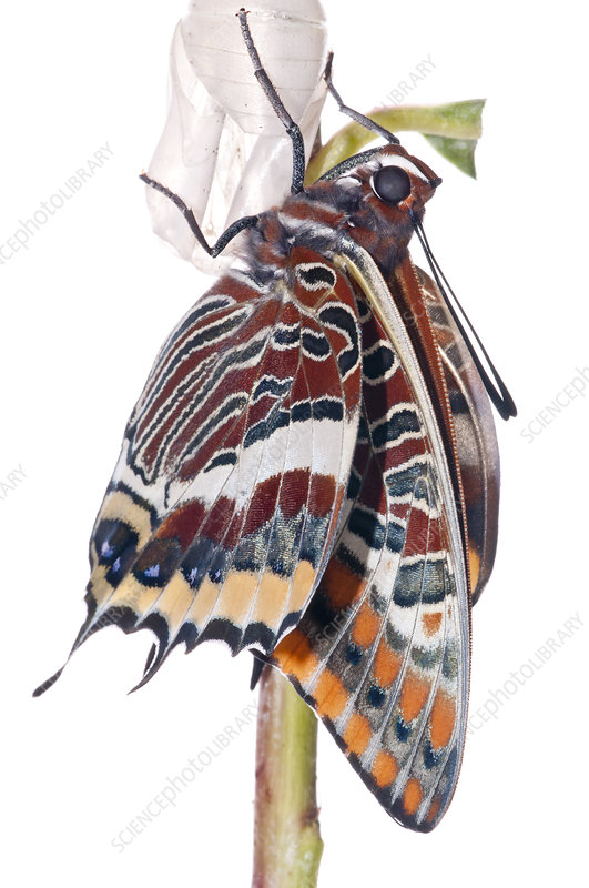 Two-tailed pasha butterfly recently emerged from chrysalis