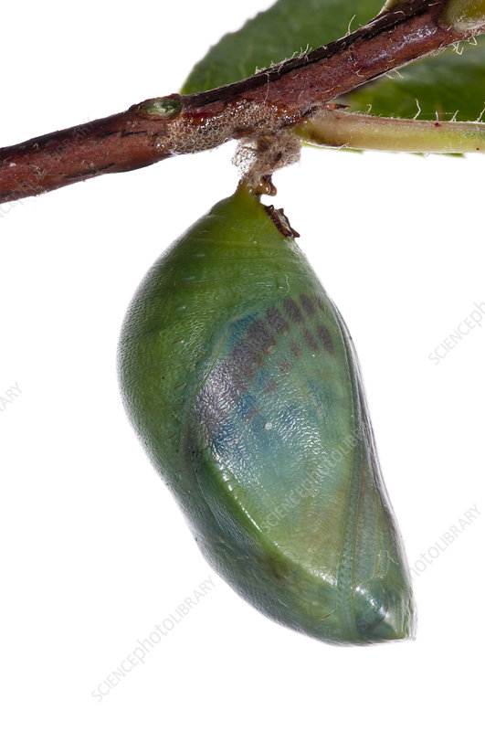 Two-tailed pasha butterfly pupa 24hrs before emergence