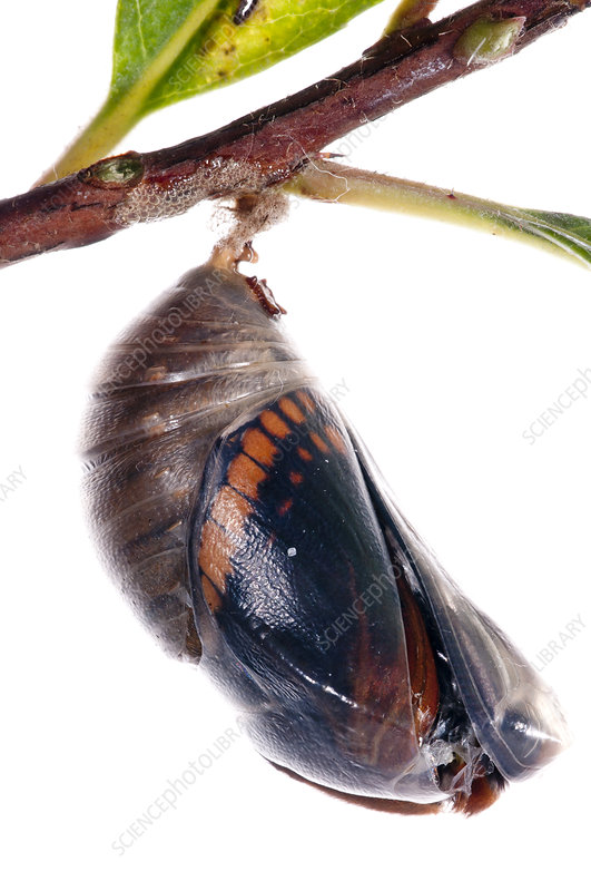 Two-tailed pasha butterfly pupal case cracking