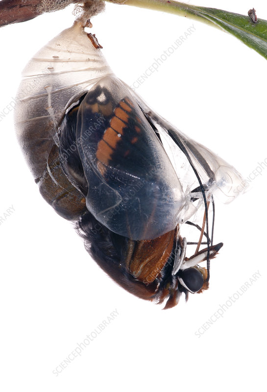 Two-tailed pasha butterfly emerging from pupal case