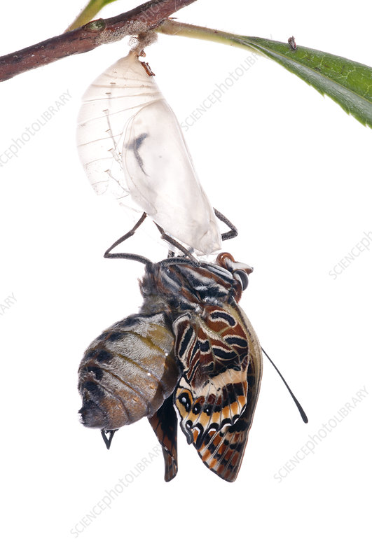 Two-tailed pasha butterfly just emerged from pupal case