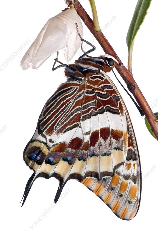 Two-tailed pasha butterfly recently emerged from pupal case