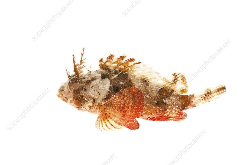 Plumed scorpionfish Florida, USA