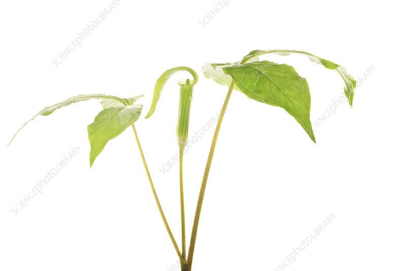 Jack-in-the-pulpit (Arisaema triphyllum) Florida, USA