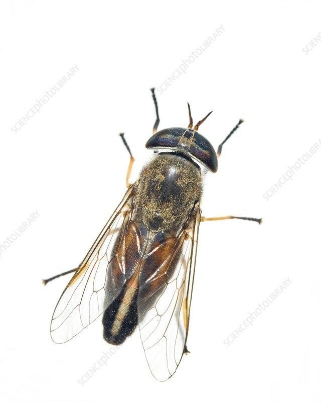 Striped horsefly Florida, USA
