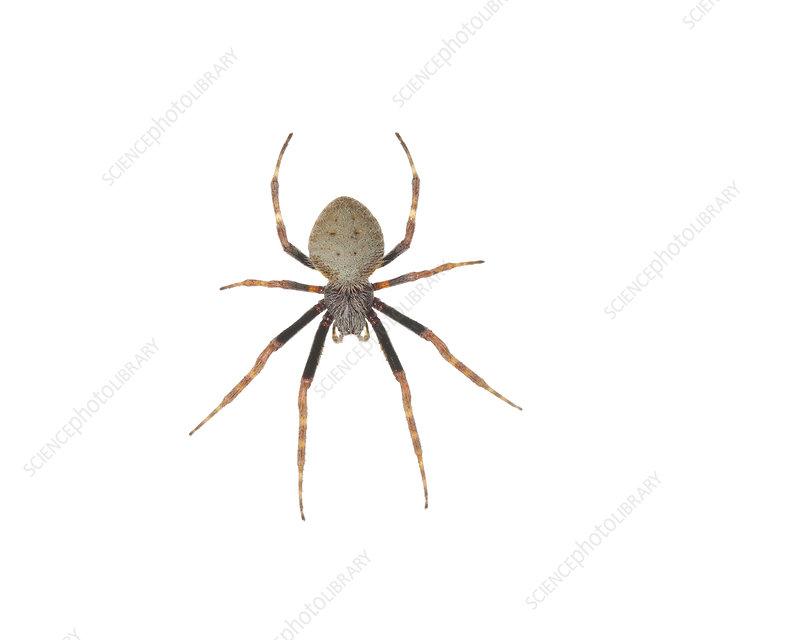 Tropical orb weaver spider Florida, USA