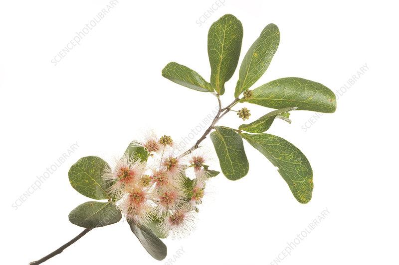 Blackbead (Pithecellobium keyense) leaves, buds and flowers