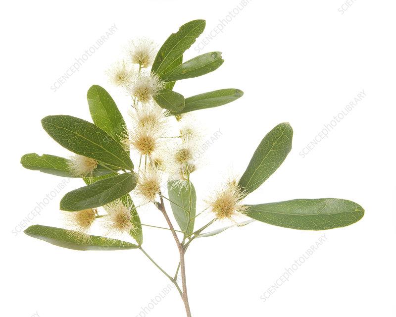 Blackbead (Pithecellobium keyense) leaves and flowers