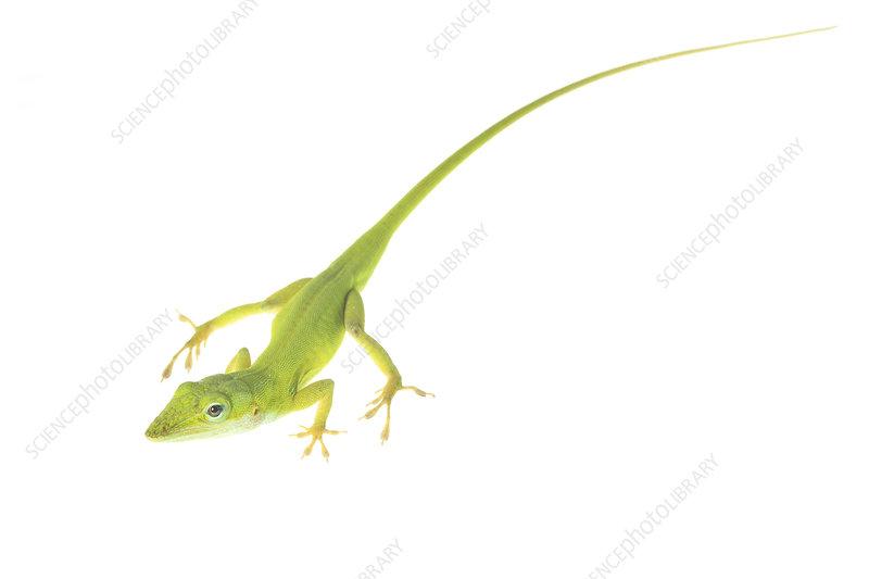 Green anole lizard Florida, USA
