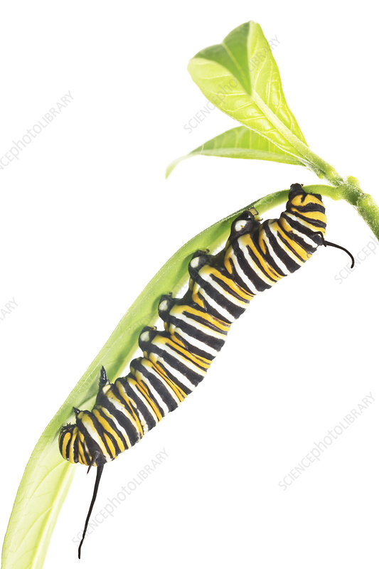 Caterpillar larva of the Monarch butterfly Florida, USA
