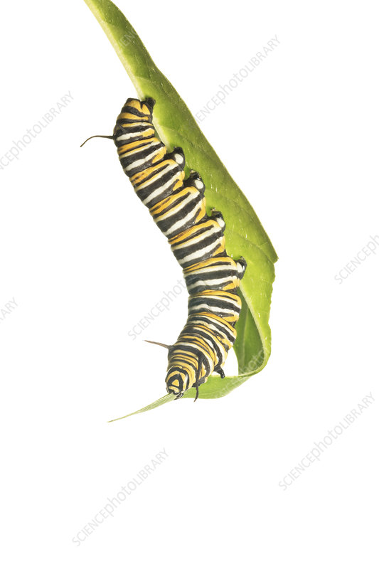 Caterpillar larva of the Monarch butterfly feeding on leaf
