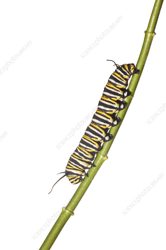 Caterpillar larva of the Monarch butterfly Florida, USA