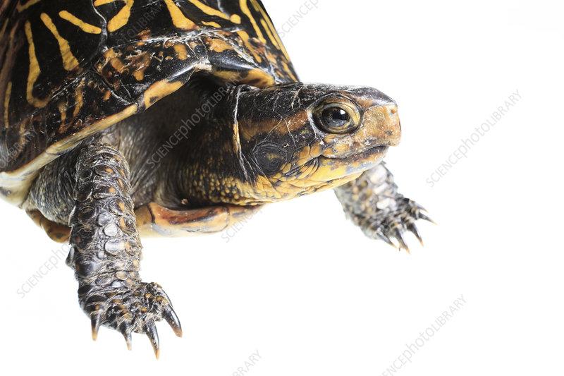 Florida box turtle Florida, USA