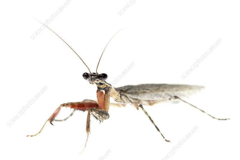 Grizzled mantis Florida, USA