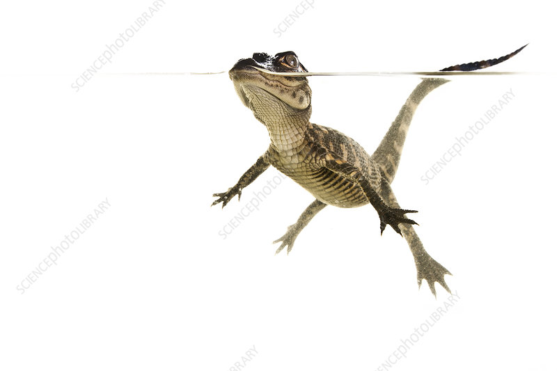 American alligator baby swimming, split-level, Florida, USA