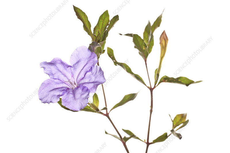 Thickleaf petunia (Ruellia succulenta) in flower