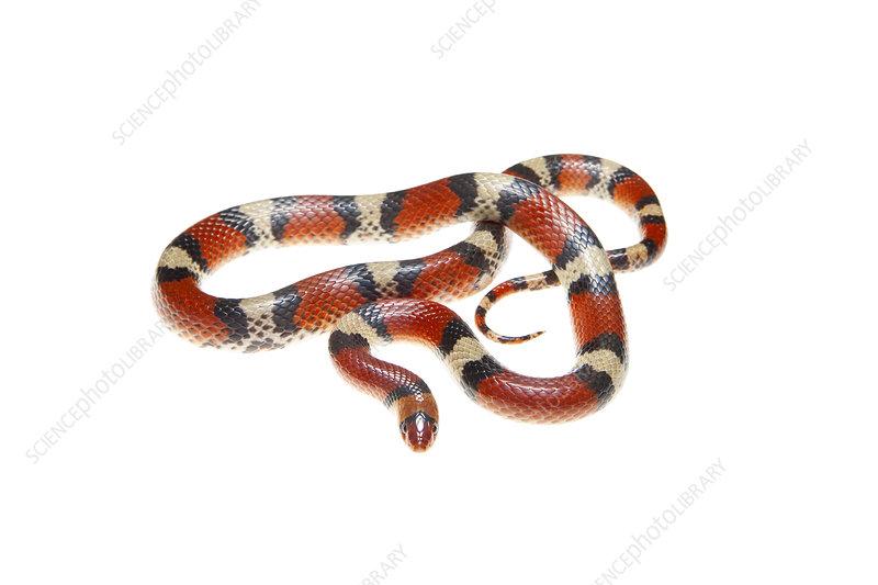 Scarlet snake Florida, USA