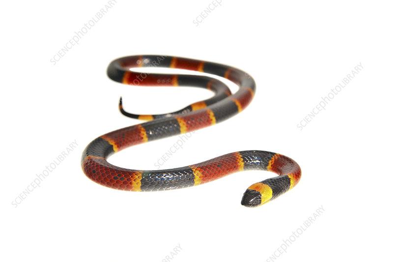 Eastern coral snake Florida, USA