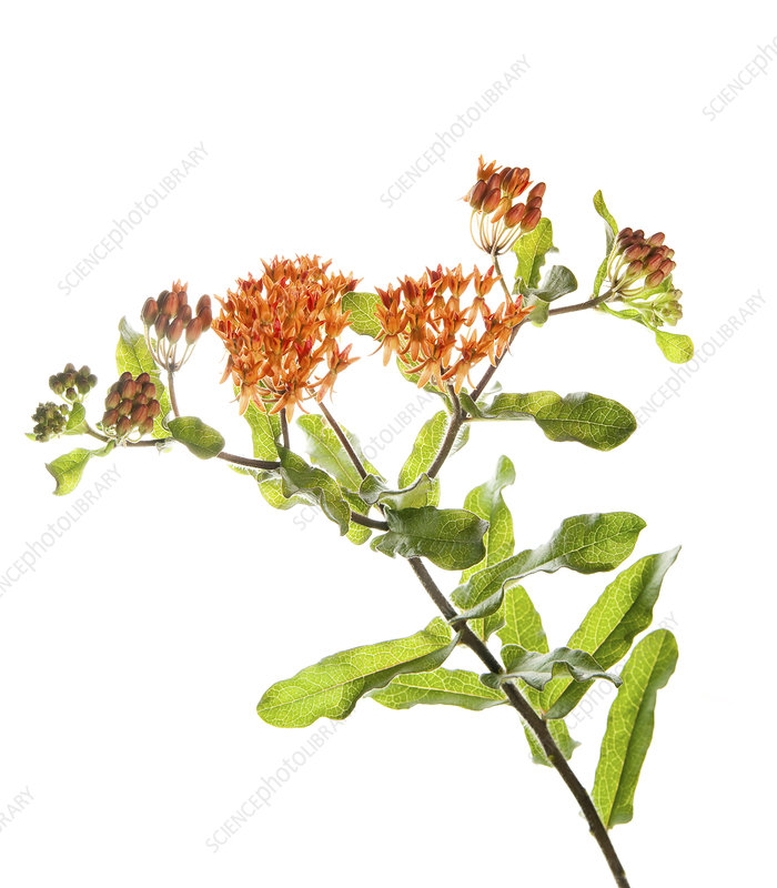 Tuberous milkweed (Asclepias tuberosa) flowers, Florida, USA