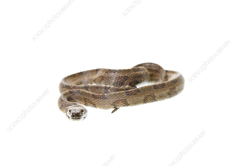 Brown water snake Florida, USA