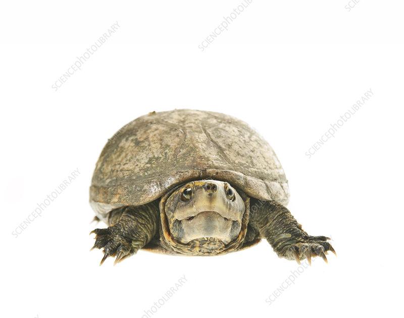 Florida mud turtle Florida, USA