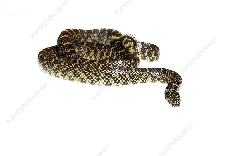 Florida kingsnake coiled, Florida, USA