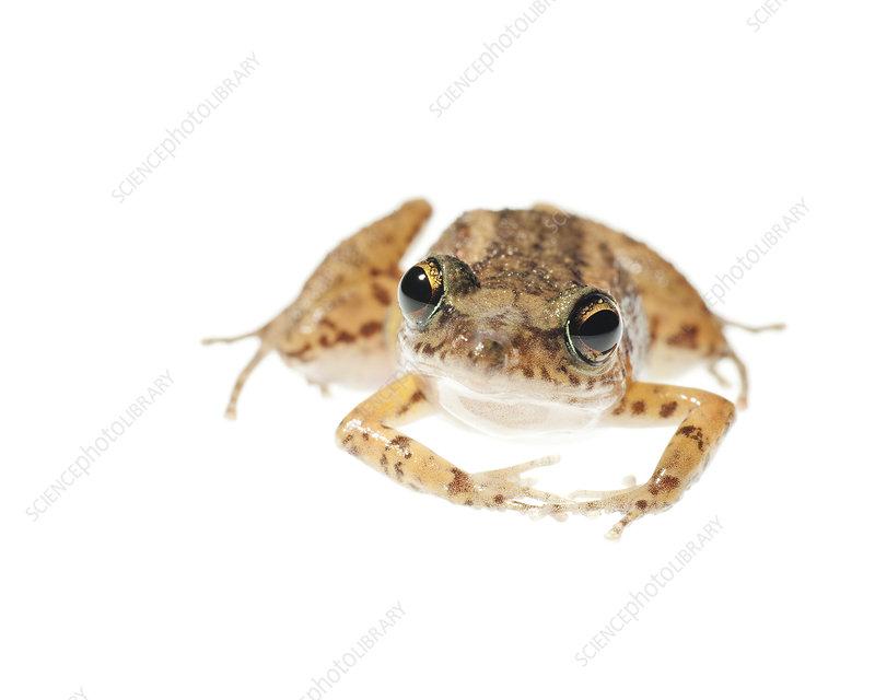 Southern cricket frog Florida, USA